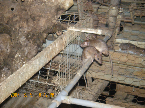 クマネズミの画像 p1_15